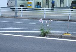 6.26国道の花2