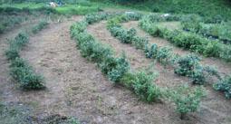 7.5草刈後の畑1