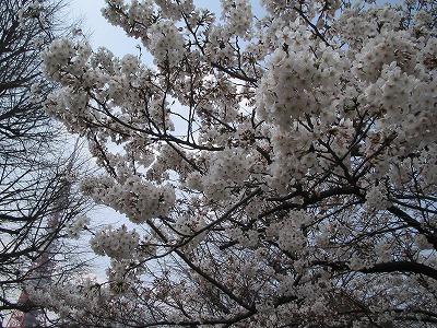 08sakura01.jpg