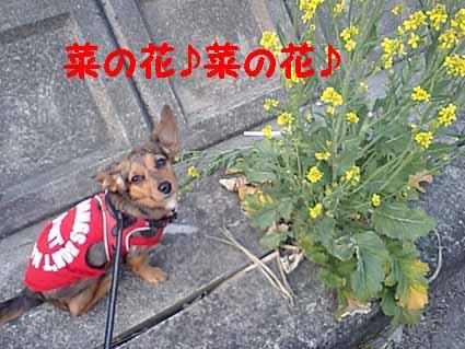 菜の花♪菜の花♪