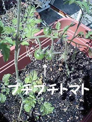 プチプチトマト