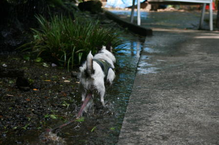 水溜りの中を走るもも(2)