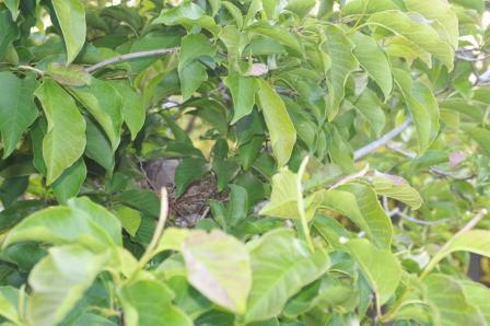 巣作り中の鳩