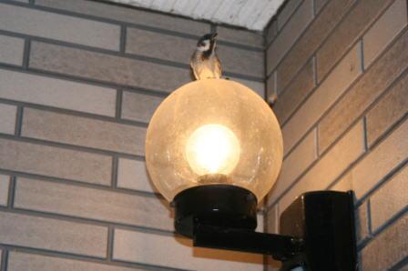 玄関の電灯の上のスズメ