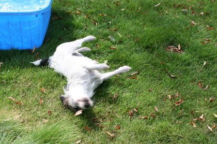 芝生の上でスリスリをするもも