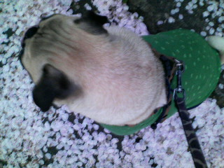 上から見た由紀夫と桜