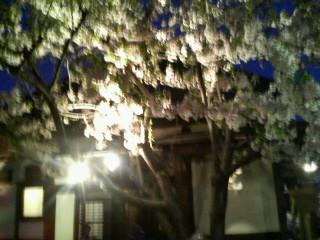 保育園の夜桜