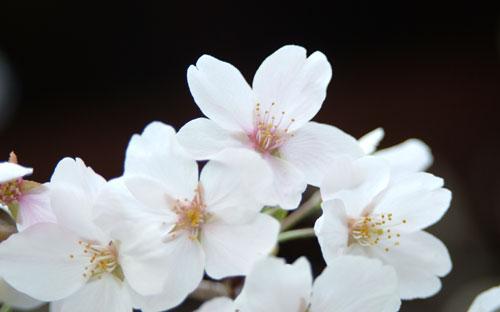 本法寺本殿桜アップ
