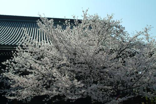 本法寺 本殿桜