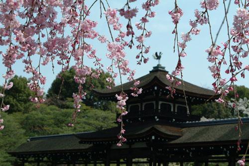 神苑鳳凰枝垂れ桜DSCF0854