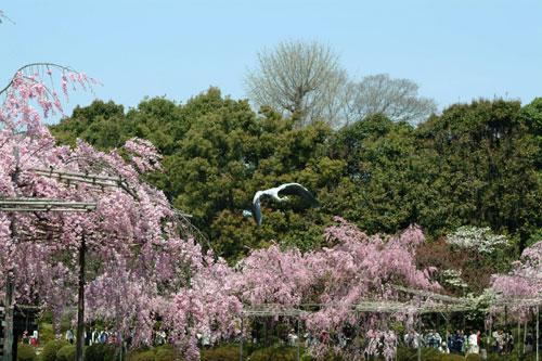 神苑青鷺飛行