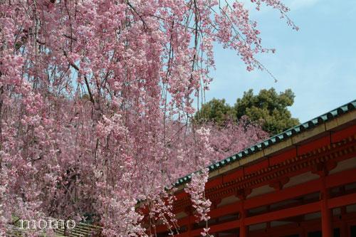 神苑しだれ桜