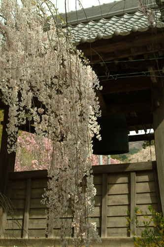大野寺鐘と枝垂桜