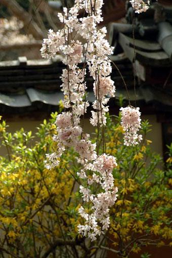 大野寺枝垂桜