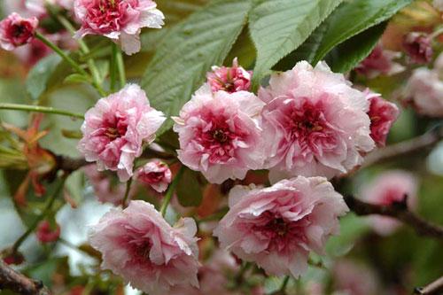 造幣局桜水滴2