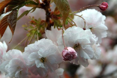 造幣局桜水滴