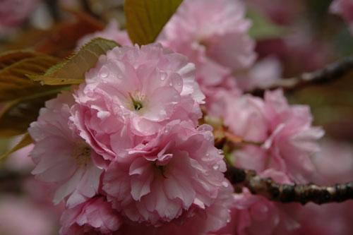 造幣局桜3