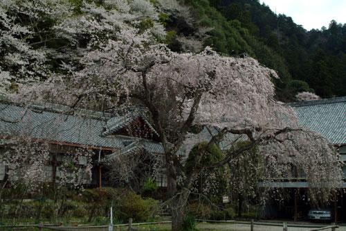 室生寺桜1