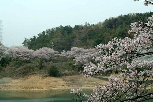 永楽ダム桜2