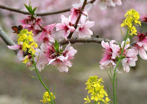 桃と蝶と菜の花