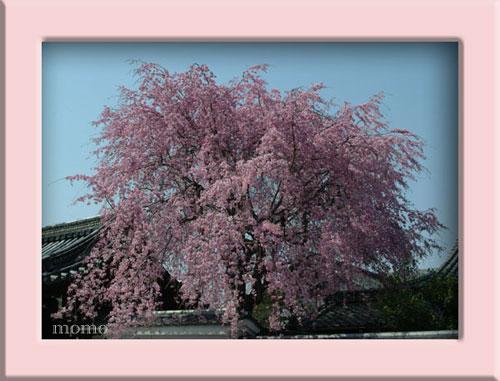 妙覚寺しだれ桜