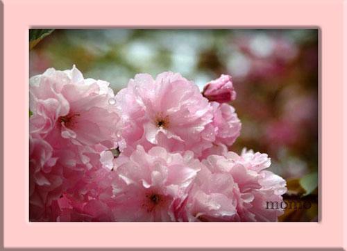 造幣局桜水滴1