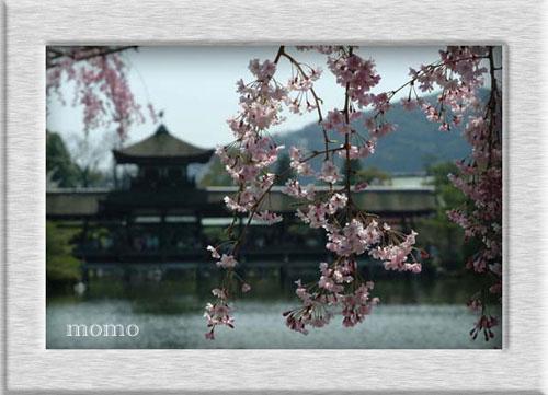 平安神宮神苑桜