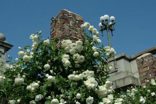 中之島公園薔薇3