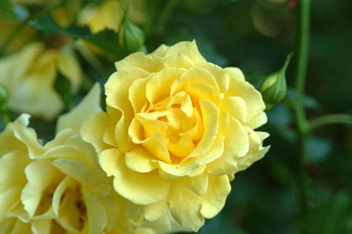 中之島公園薔薇黄