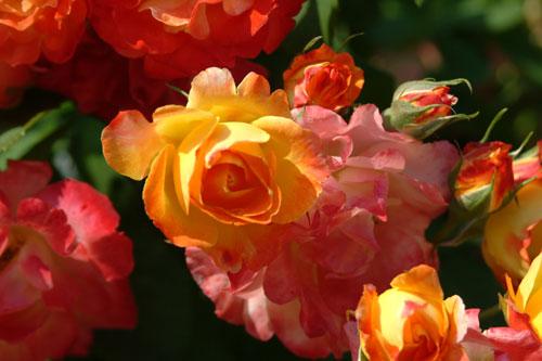 中之島公園薔薇黄赤