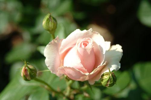 中之島公園薔薇桃