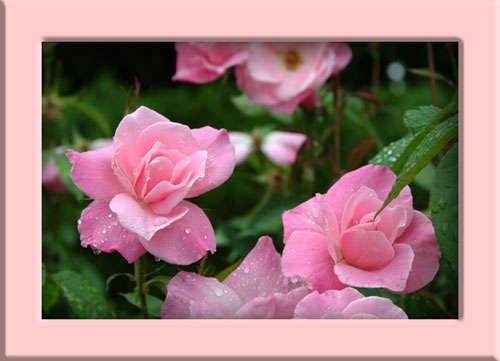 長居公園薔薇ピンク