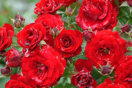 長居公園薔薇赤