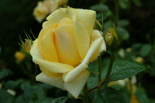 長居公園薔薇黄