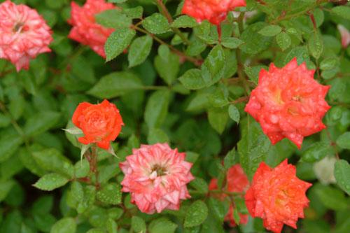 長居公園薔薇小さいばら
