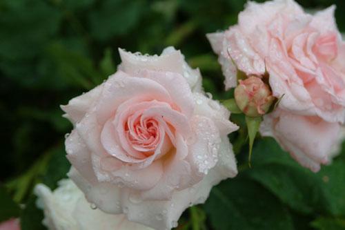 <br />長居公園薔薇淡いピンク