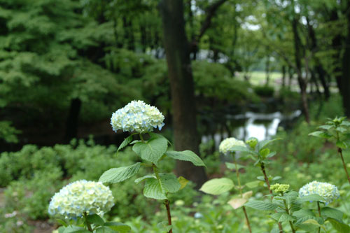 長居公園紫陽花