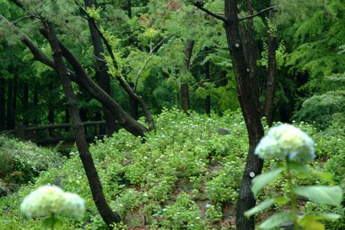 長居公園紫陽花3