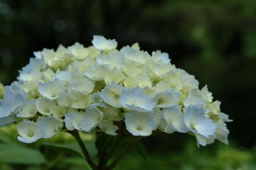 長居公園紫陽花5