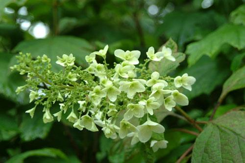 長居公園紫陽花6