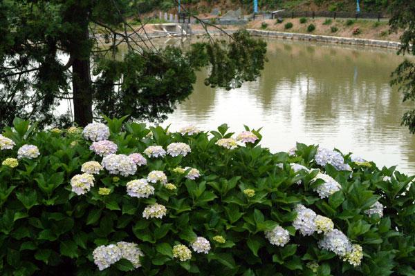 恋し野の里あじさい園池