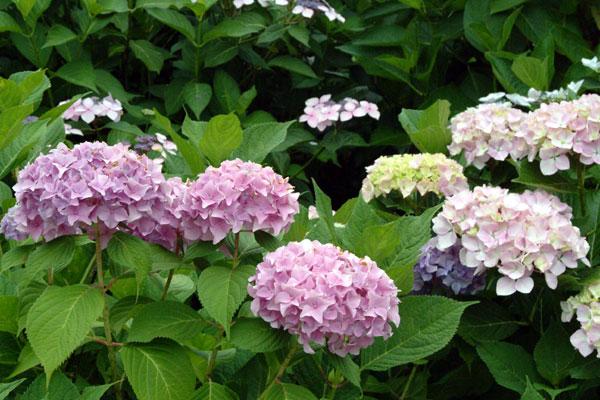 恋し野の里あじさい園紫陽花