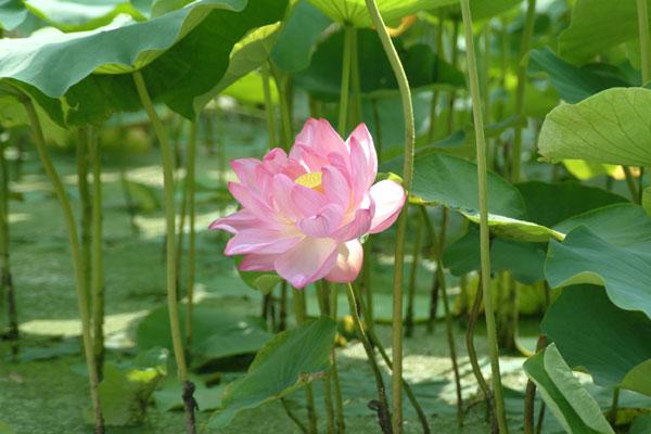 万博公園蓮の花ピンク