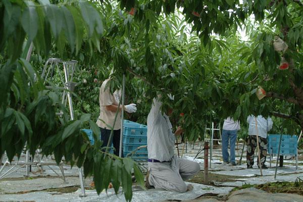 あら川の桃収穫
