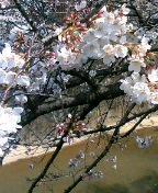 今日桜326