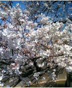 今日桜326 2