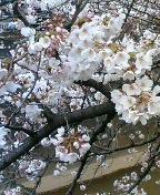 今日桜327