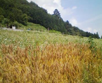20080702141826麦畑