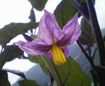 20080702114103ナスの花