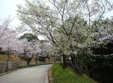 夜宮公園桜